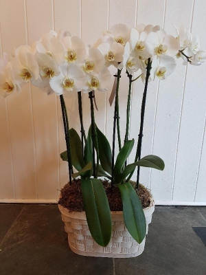 Duo Orchid Basket